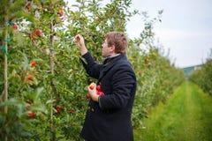 Homem novo que escolhe maçãs vermelhas em um pomar Fotografia de Stock