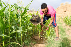 Homem novo que irriga o campo de milho do milho