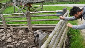Homem novo que olha porks em uma exploração agrícola video estoque
