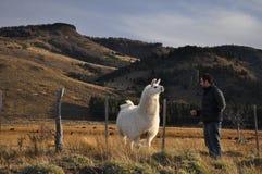 Homem novo que olha um lama patagonian no Patagonia, Argentina fotos de stock