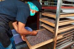 Homem novo que trabalha na fábrica do chocolate, verificando a repreensão dos feijões de cacau fotografia de stock