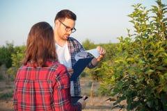 Homem novo sério e agrônomos ou fazendeiros fêmeas que trabalham em um pomar de fruto imagem de stock royalty free