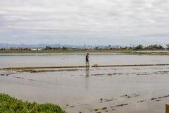 Homem observando os campos do arroz perto de Valência imagens de stock royalty free