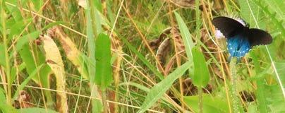 Homem Pipevine Swallowtail em um campo da erva daninha do leite fotos de stock royalty free