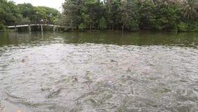 Homem que alimenta a carpas grandes a natação dos peixes na lagoa 4K, Slowmotion vídeos de arquivo