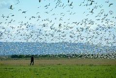 Homem que anda com gansos de neve Fotografia de Stock