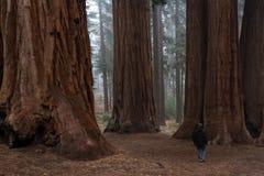 Homem que anda em uma floresta gigante Fotos de Stock Royalty Free