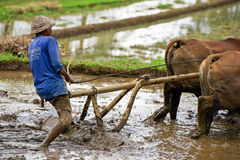 Homem que ara o campo do arroz em Bali, Indonésia foto de stock royalty free