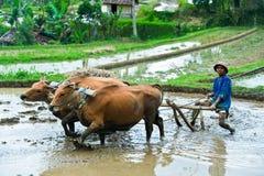 Homem que ara o campo do arroz em Bali, Indonésia fotografia de stock