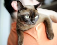 Homem que carreg o gato burmese em seu ombro Fotografia de Stock