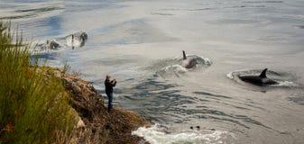 Homem que fotografa baleias fotografia de stock royalty free