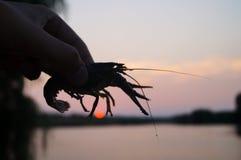 Homem que guarda lagostas nas mãos Imagens de Stock