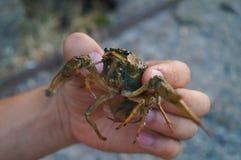 Homem que guarda lagostas nas mãos Fotografia de Stock Royalty Free