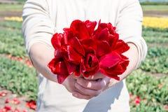 Homem que guarda o ramalhete de tulipas vermelhas Fotografia de Stock Royalty Free