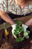 Homem que jardina, transplantando e planta de potting fotografia de stock