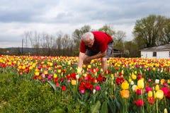 Homem que tende tulipas Fotografia de Stock