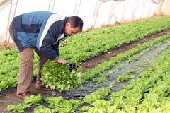 Homem sênior que planta a alface Imagem de Stock Royalty Free