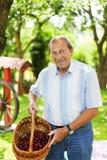 Homem superior atrativo 70 anos de cerejas velhas da colheita em seu garde Fotografia de Stock
