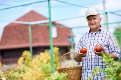 Homem superior feliz que recolhe a colheita no jardim imagem de stock