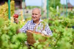 Homem superior feliz que recolhe maçãs imagem de stock royalty free
