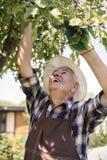 Homem superior que colhe frutos frescos Foto de Stock