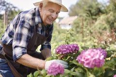 Homem superior que importa-se com flores do jardim foto de stock royalty free