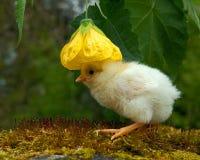Homem velho da galinha de três a quatro dias, da raça de Hedemora na Suécia foto de stock royalty free