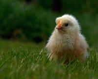 Homem velho da galinha de três a quatro dias, da raça de Hedemora na Suécia fotografia de stock