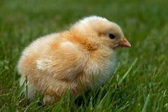 Homem velho da galinha de três a quatro dias, da raça de Hedemora na Suécia imagem de stock royalty free