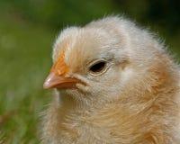 Homem velho da galinha de três a quatro dias, da raça de Hedemora na Suécia imagem de stock