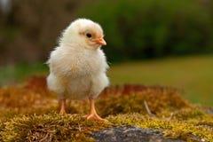 Homem velho da galinha de três a quatro dias, da raça de Hedemora na Suécia imagens de stock royalty free