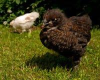 Homem velho da galinha de três semanas, da raça de Hedemora na Suécia foto de stock