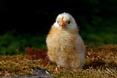 Homem velho da galinha de um a dois dias, da raça de Hedemora na Suécia fotos de stock