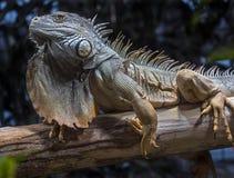 Homem verde 4 da iguana foto de stock