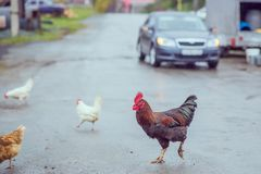 Homemade brown chickens walking on the road in the village. Ginger Homemade brown chickens walking on the road in the village stock photography