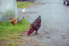 Homemade brown chickens walking on the road in the village royalty free stock images