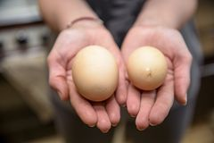 Homemade chicken egg with two yolks 2018 Stock Photos