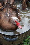 Homemade duck in the water Stock Photos