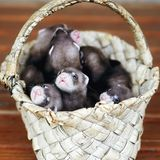 Homemade ferrets in a birch bark basket. Small domestic ferrets in the basket royalty free stock photography