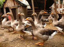 Homemade geese in the backyard Royalty Free Stock Photo