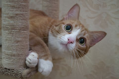 Homemade ginger cat. Home red purebred cat closeup Royalty Free Stock Photography