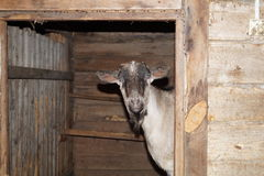 Homemade goat. Peeking and waiting for the farmer with food Stock Image