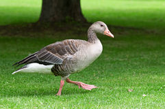 Homemade goose. On a green lawn Stock Image