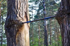 Homemade horizontal bar ingrown into the trunk of a tree Stock Image