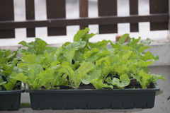 Homemade hydroponic vegetables growing Royalty Free Stock Photography