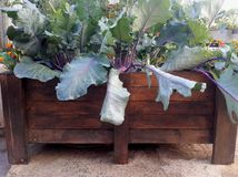 Raised Container Gardening. A homemade raised container garden from unwanted pallets with some growing kohlrabi Royalty Free Stock Photos