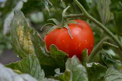Homemade red tomato. A homemade red tomato to rain drops Royalty Free Stock Images