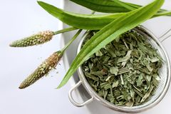 Homemade remedy - herbal plantain tea plantago lanceolata - he. Homemade remedy - herbal plantain tea plantago lanceolata on the white background - health care royalty free stock images