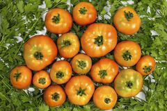 Homemade tomatoes are on parsley, red tomatoes on green parsley, for a culinary book. For a culinary book, homemade tomatoes are on parsley, red tomatoes on Stock Photos