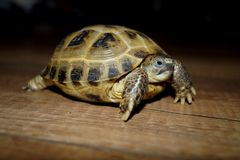 Homemade turtle. Stock Image